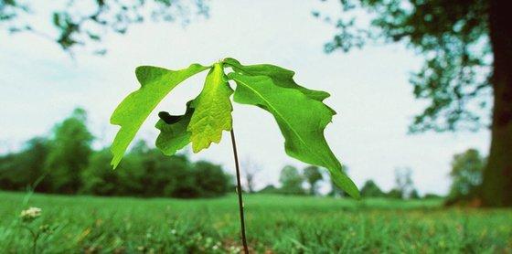 oak growth